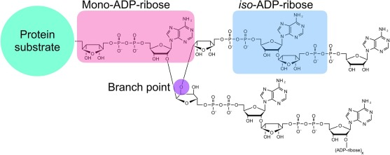 Poly(ADP-ribose)-dependent ubiquitination and its clinical