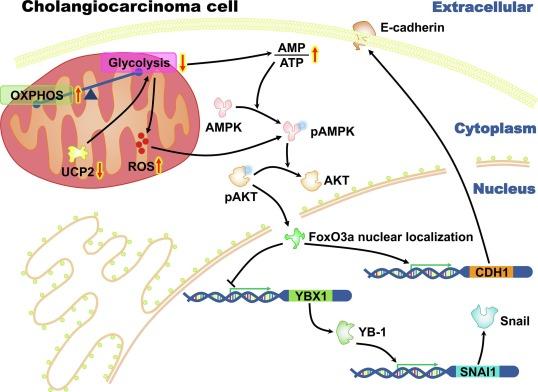 UCP2 regulates cholangiocarcinoma cell plasticity via mitochondria