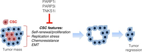 Therapeutic considerations of PARP in stem cell biology