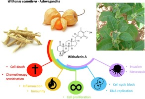 Withaferin A: From ayurvedic folk medicine to preclinical