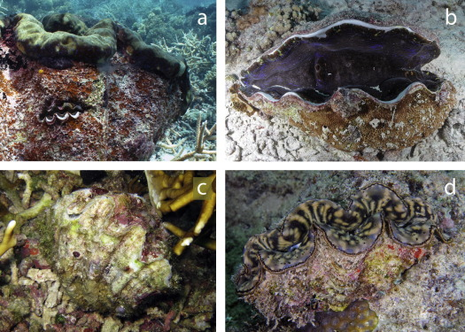 The ecological significance of giant clams in coral reef ecosystems