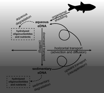 Fish environmental DNA is more concentrated in aquatic