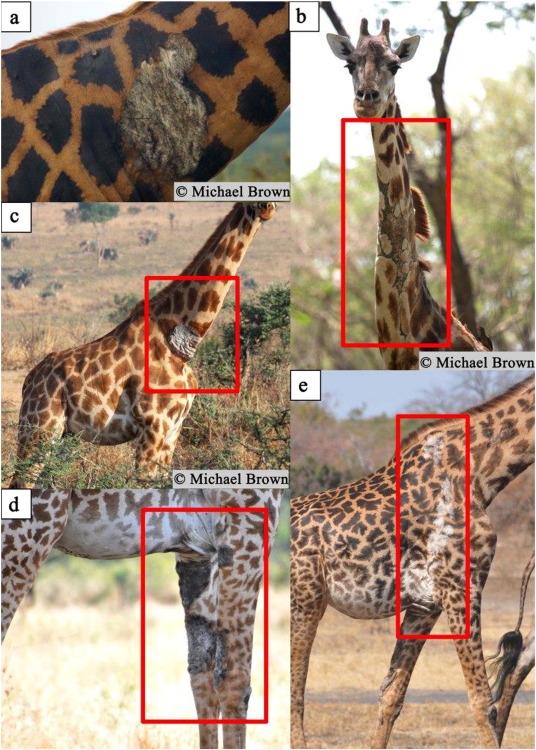papillomavirus in giraffe margele ca mânerul