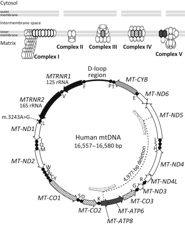 What Can Mitochondrial Dna Analysis Tell Us About Mood Disorders