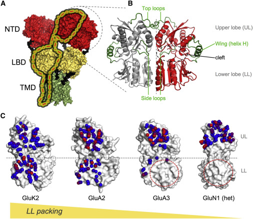 Structure Dynamics And Allosteric Potential Of Ionotropic Glutamate Receptor N Terminal Domains Sciencedirect