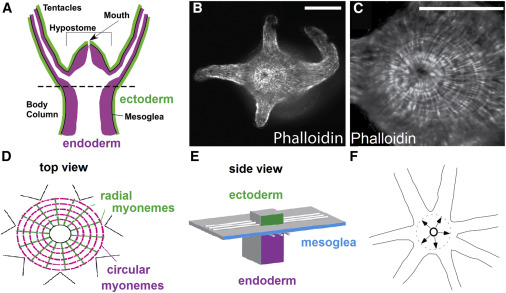 dynamics of mouth opening in hydra sciencedirect rh sciencedirect com