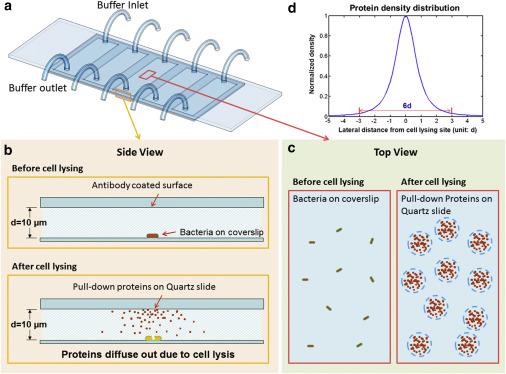 Toward Single Cell Single Molecule Pull Down Sciencedirect