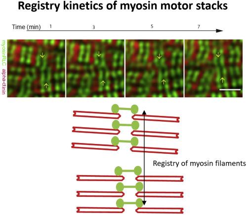 Registry Kinetics of Myosin Motor Stacks Driven by