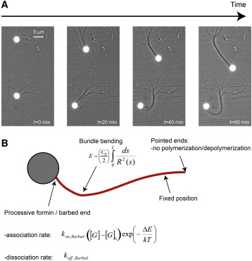 Force Production By A Bundle Of Growing Actin Filaments Is Limited