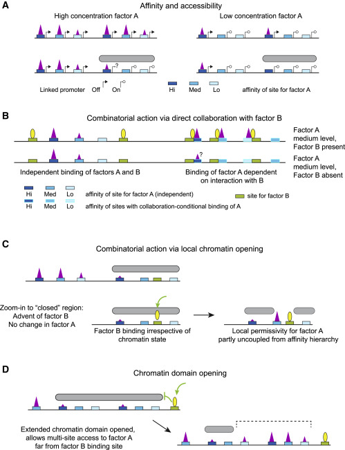 Logic and lineage impacts on functional transcription factor ...