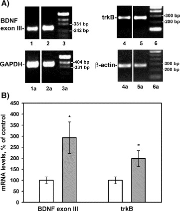 Semax, an analog of ACTH(4–10) with cognitive effects, regulates ...
