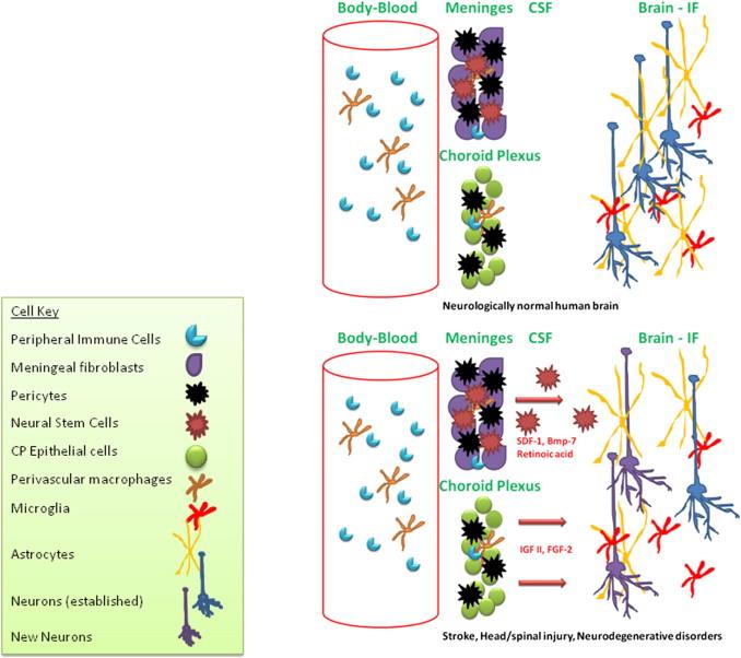 Meningeal And Choroid Plexus Cells Novel Drug Targets For Cns