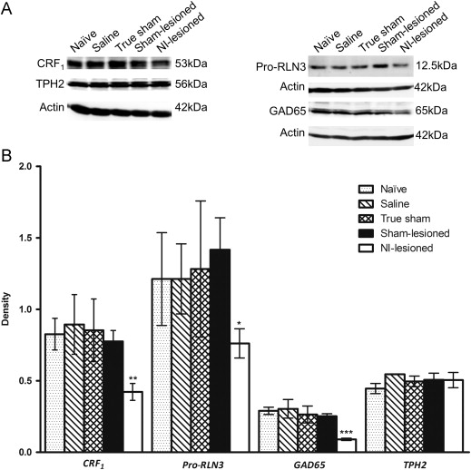 Selective lesioning of nucleus incertus with corticotropin