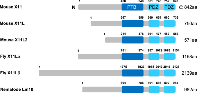 Expression and localization of X11 family proteins in