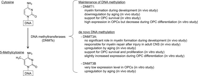 Brief review: Can modulating DNA methylation state help the
