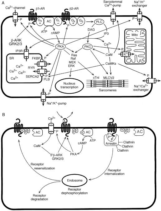 Modulation Of Adrenergic Receptor Subtype Activities In