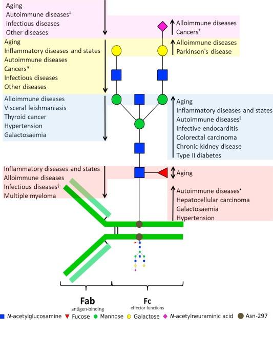 Immunoglobulin G glycosylation in aging and diseases