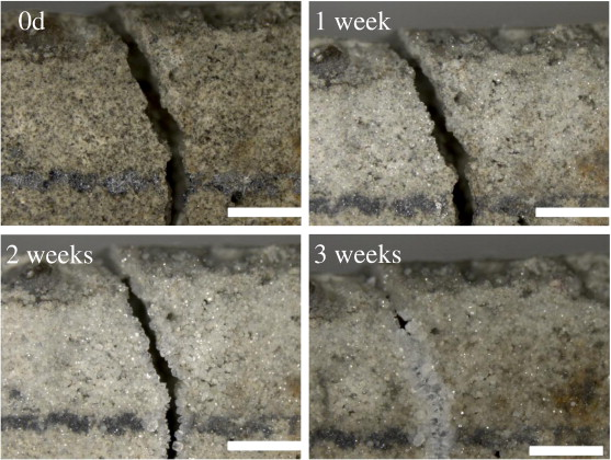 Self-healing concrete by use of microencapsulated bacterial spores ...