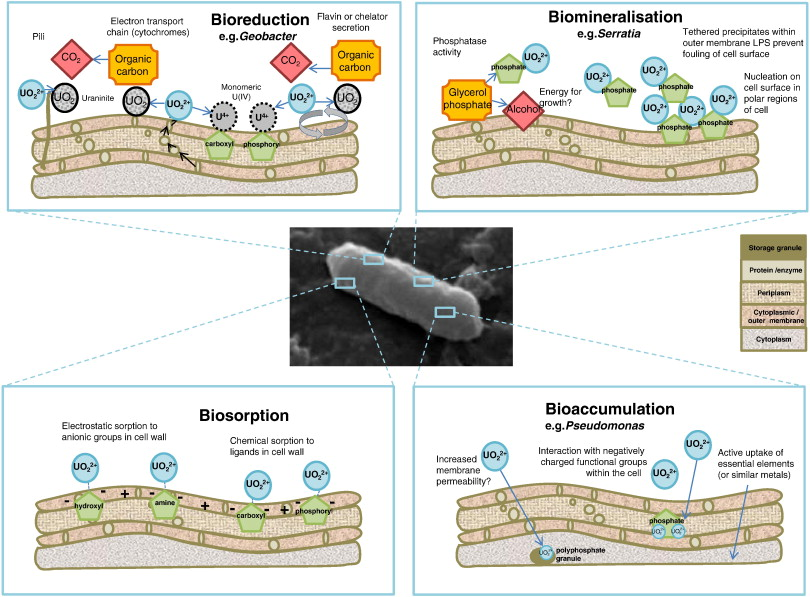 The biogeochemistry and bioremediation of uranium and other