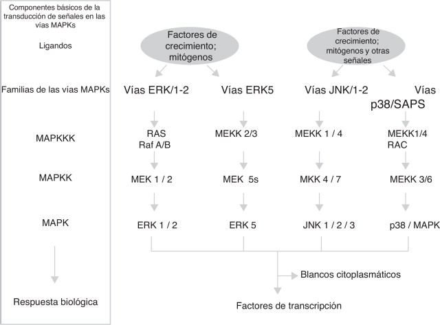Interacción de las vías de señalización intracelulares participantes ...