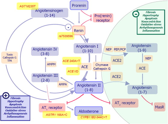 Biomarkers Of Activation Reninangiotensinaldosterone System In. Download Fullsize. Wiring. Aldosterone Hormone Feedback Loop Homeostasis Diagram For At Scoala.co