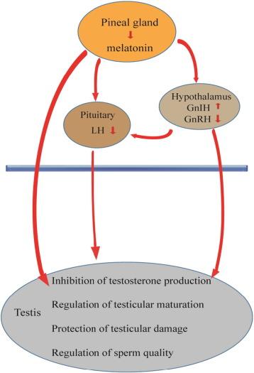 Melatonin and male reproduction - ScienceDirect