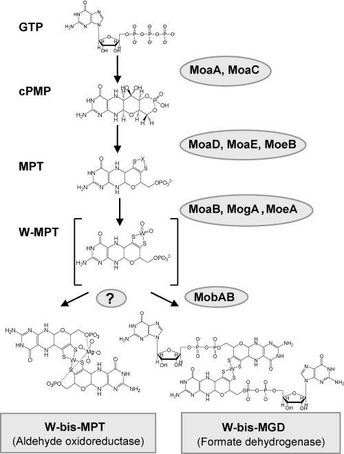 The bioinorganic chemistry of tungsten sciencedirect schematic overview of the tungsten cofactor biosynthesis modified figure from ref 4 abbreviations of the intermediates are written in bold on the left urtaz Choice Image