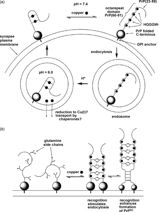 Copper Iron And Zinc Ions Homeostasis And Their Role In