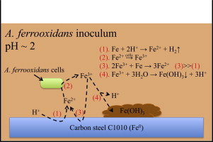 Corrosion of carbon steel C1010 in the presence of iron oxidizing bacteria  Acidithiobacillus ferrooxidans - ScienceDirect