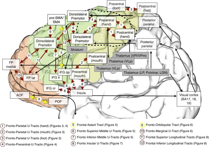 Short Frontal Lobe Connections Of The Human Brain Sciencedirect