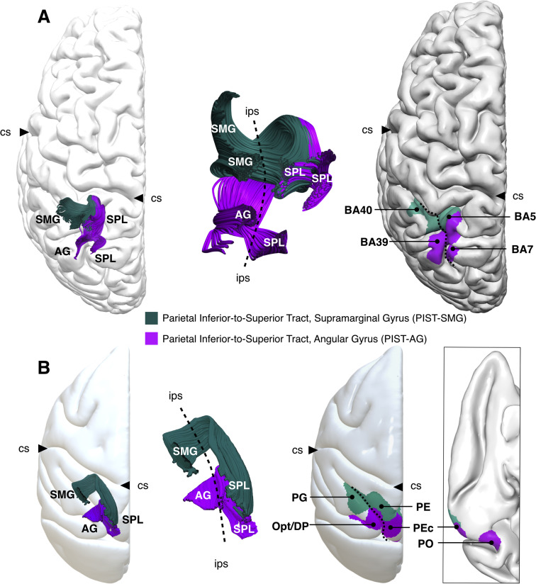 Short Parietal Lobe Connections Of The Human And Monkey Brain