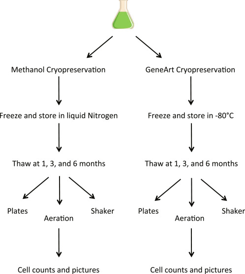 Comparative Analysis Of Cryopreservation Methods In Chlamydomonas