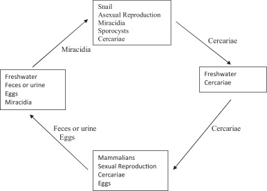schistosomiasis ncbi mâncărime în anus există condiloame