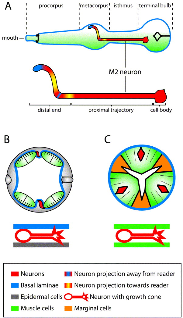 A genetic analysis of axon guidance in the C. elegans pharynx ...