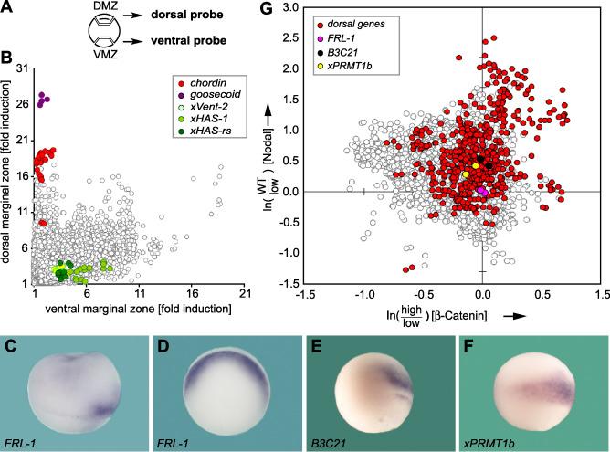Analysis of Spemann organizer formation in Xenopus embryos