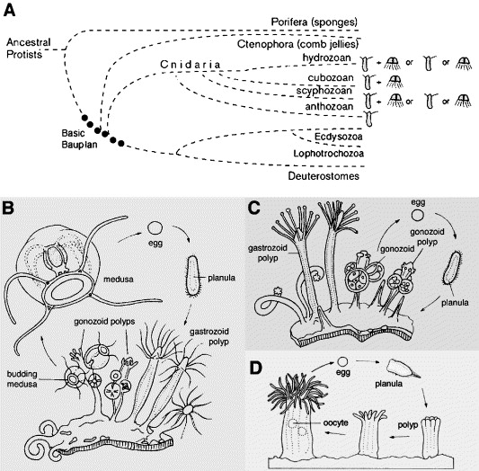 Evolution Of Striated Muscle Jellyfish And The Origin Of