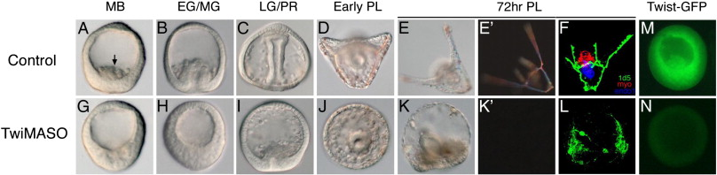 Twist Is An Essential Regulator Of The Skeletogenic Gene Regulatory Network In The Sea Urchin Embryo Sciencedirect You can find our serious tweets. sea urchin embryo