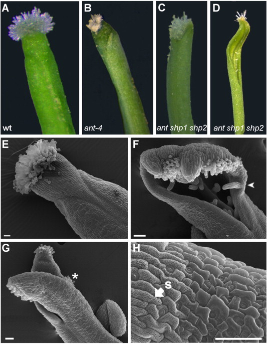 gynoecium a new role for the shatterproof genes during arabidopsis gynoecium