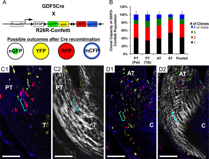 Gdf5 progenitors give rise to fibrocartilage cells that
