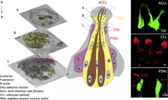 Papillae revisited and the nature of the adhesive secreting