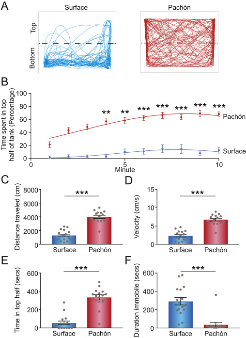 Convergence on reduced stress behavior in the Mexican blind