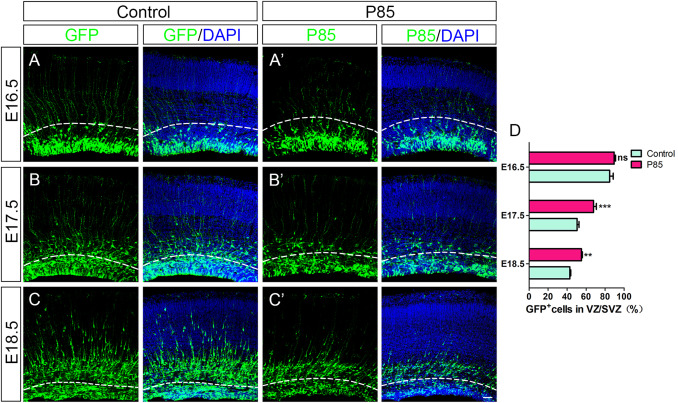 The effect of P85 on neuronal proliferation and differentiation