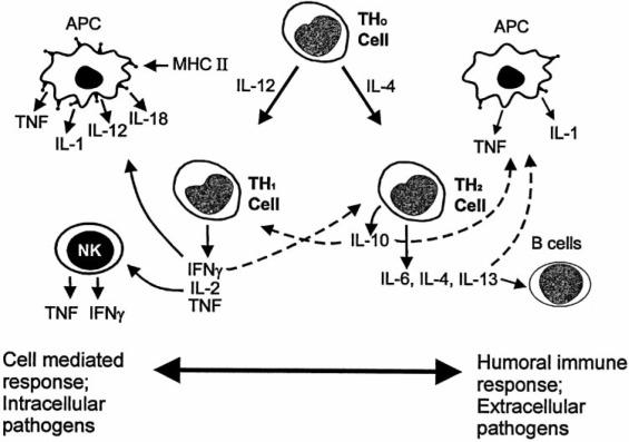 Anti-Inflammatory Cytokines - ScienceDirect