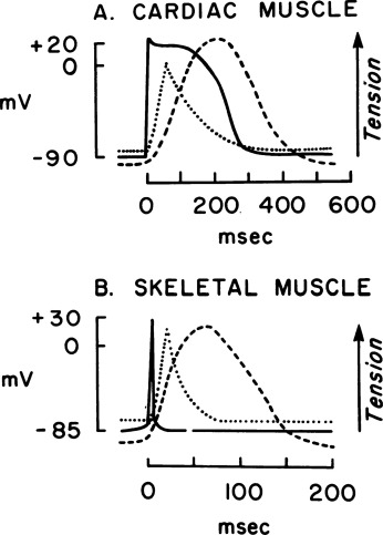 Comparative Mechanisms for Contraction of Cardiac and Skeletal ...