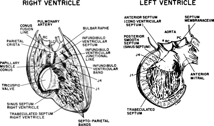 The Development Of The Interventricular Septum Of The Human Heart