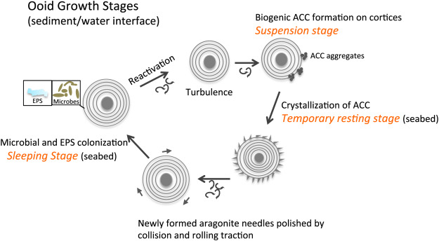 Decoding the mechanism of formation in marine ooids: A