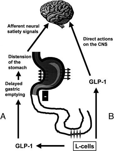 Glucagon Like Peptide 1 As A Regulator Of Food Intake And Body