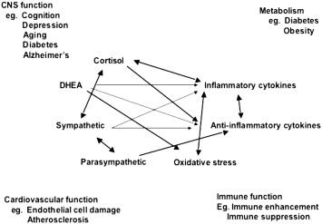 stress hormones femmes