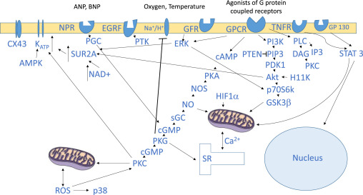 Cardioprotective signalling: Past, present and future - ScienceDirect