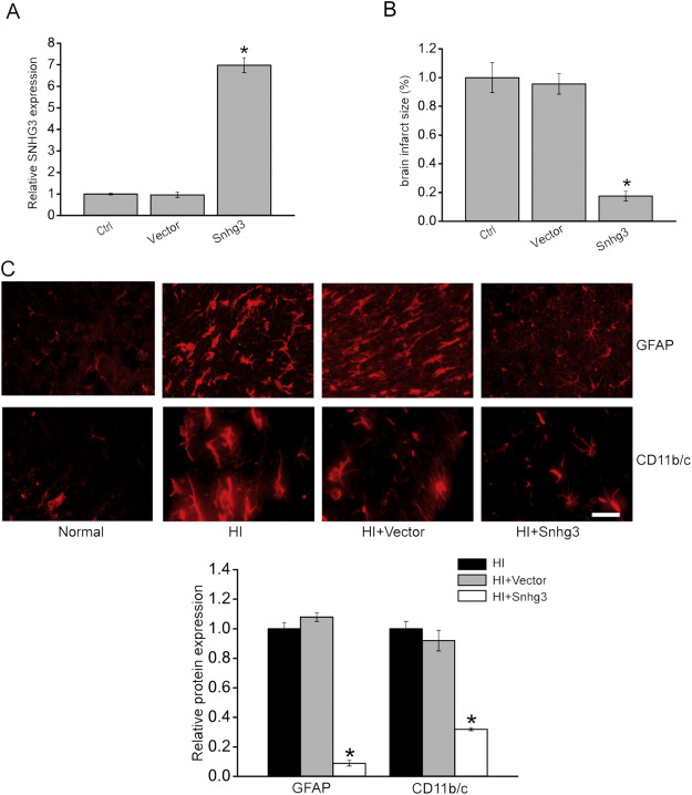 Long non-coding RNA Snhg3 protects against hypoxia/ischemia